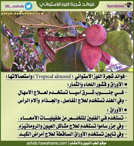 فوائد شجرة اللوز الاستوائي الطب النبوي والاعشاب Almond Vegetables Healthy