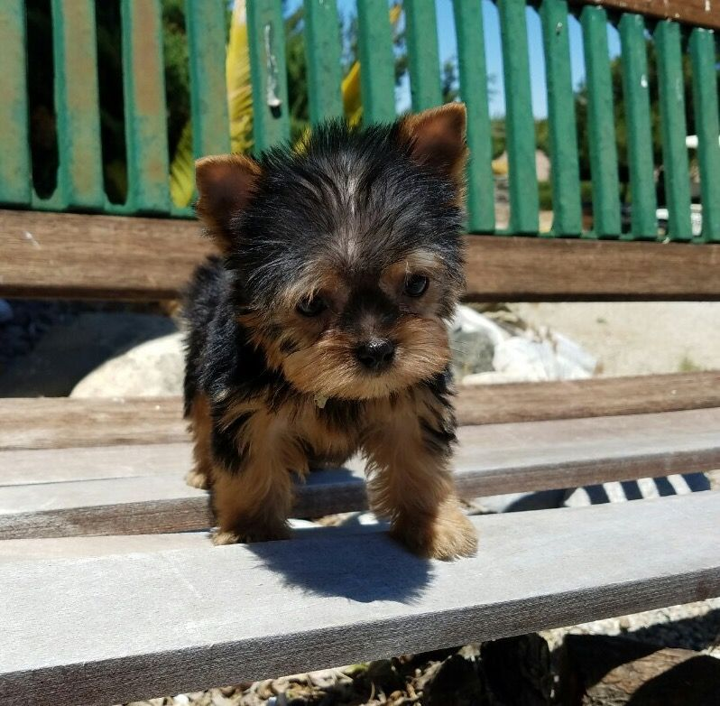Yorkshire Terrier Puppy For Sale In Los Angeles Ca Adn 34065 On