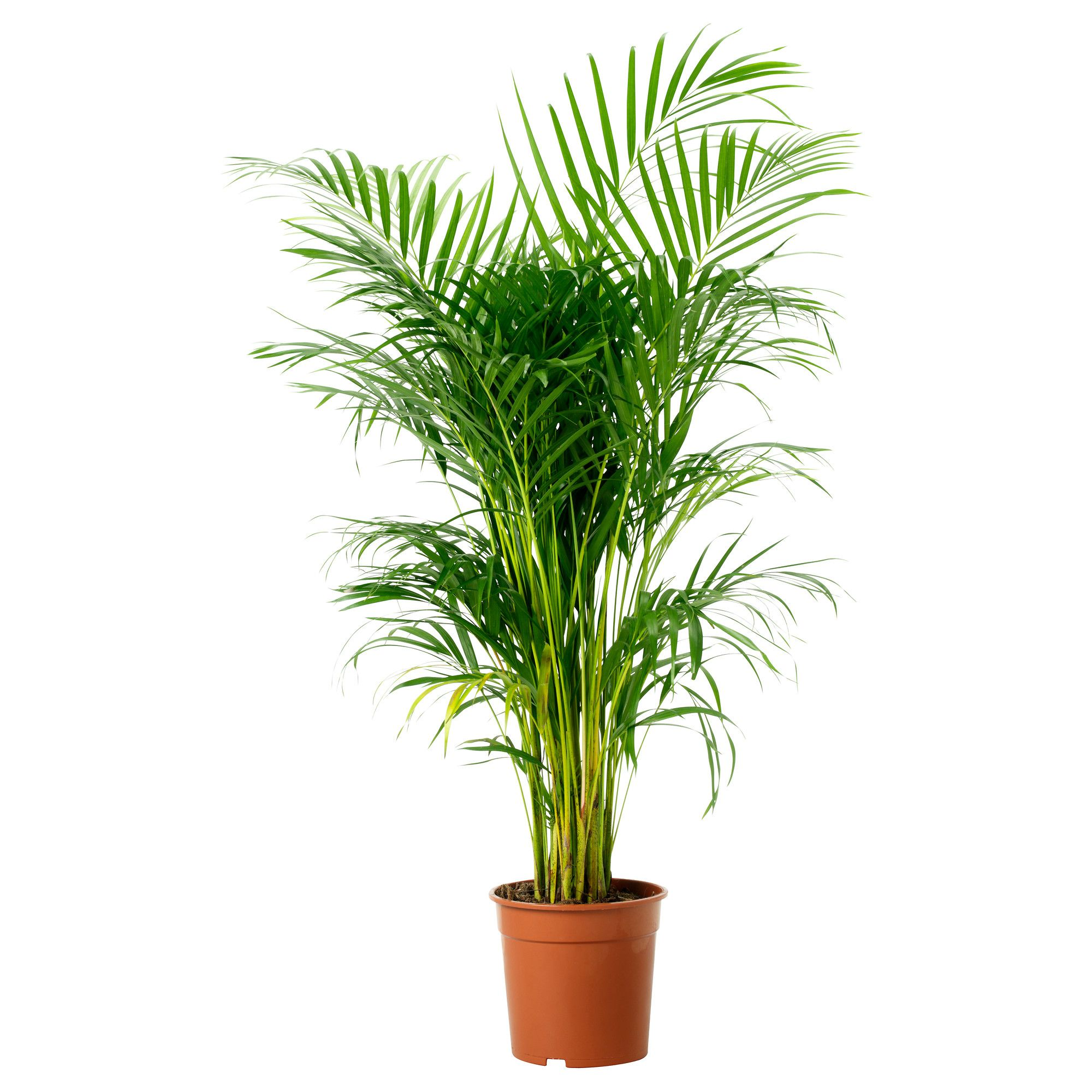 Ikea Chrysalidocarpus Lutescens Plante En Pot: plantes decoratives exterieur