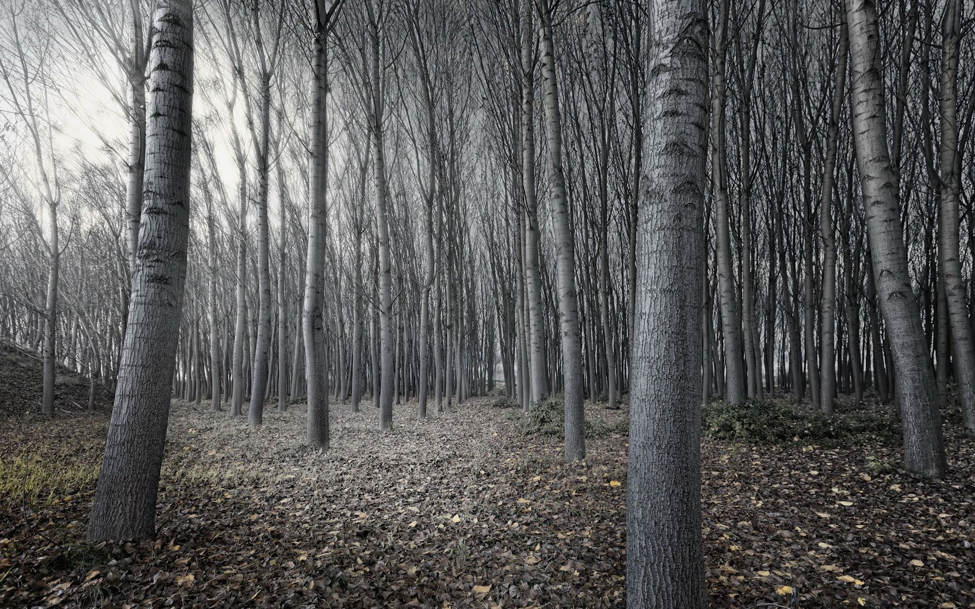Black And White Trees Black And White Tree Forest 1920 X 1200