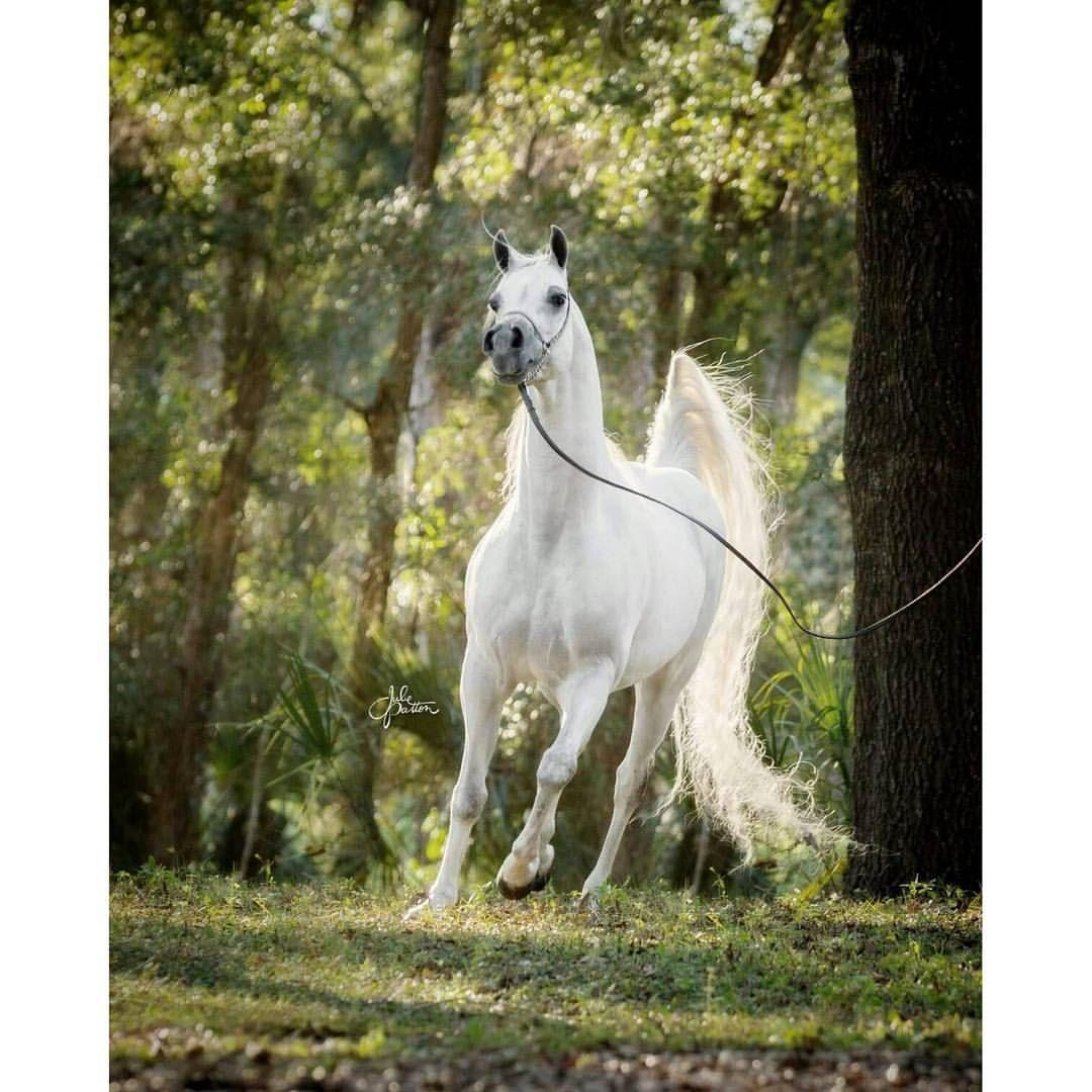 The beautiful KM Bugatti! (Versace x Sanegors Lady D) #arabianhorse #horse #arabian #stallion