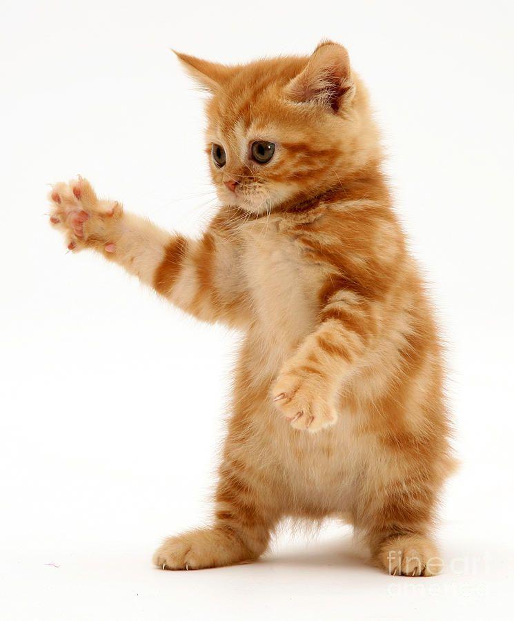 Red Tabby Kitten Tabby Kitten Kitten Wallpaper Tabby