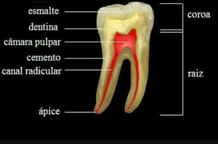 ⚪ANATOMIA DENTAL! #OdontoAjuda #Odontologia #Dente #Polpadental ...