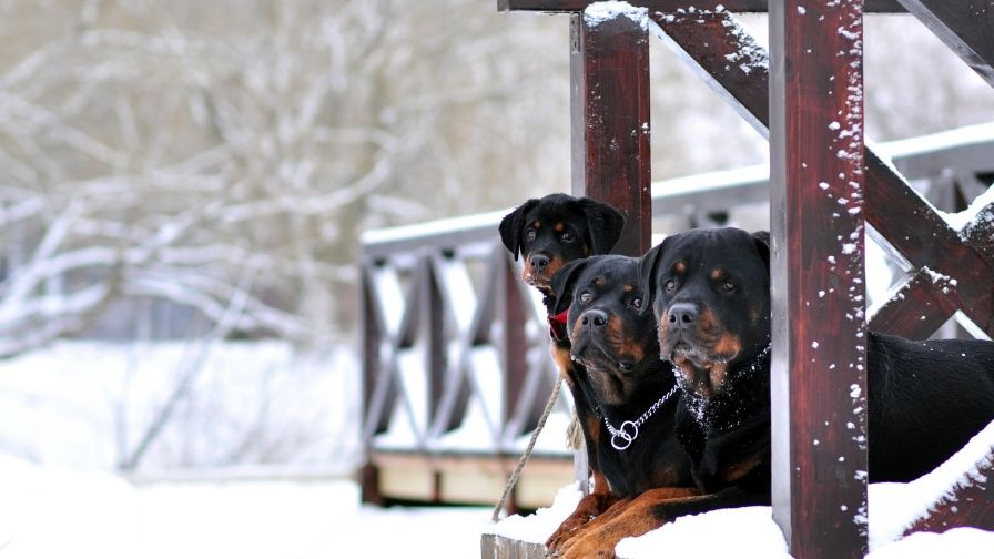 Rottweiler Dogs Wallpaper Hd Download Animal Fans Dog Wallpaper
