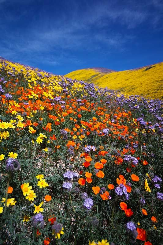 Super Bloom - Desert Wildflower Reports for Southern California by ...