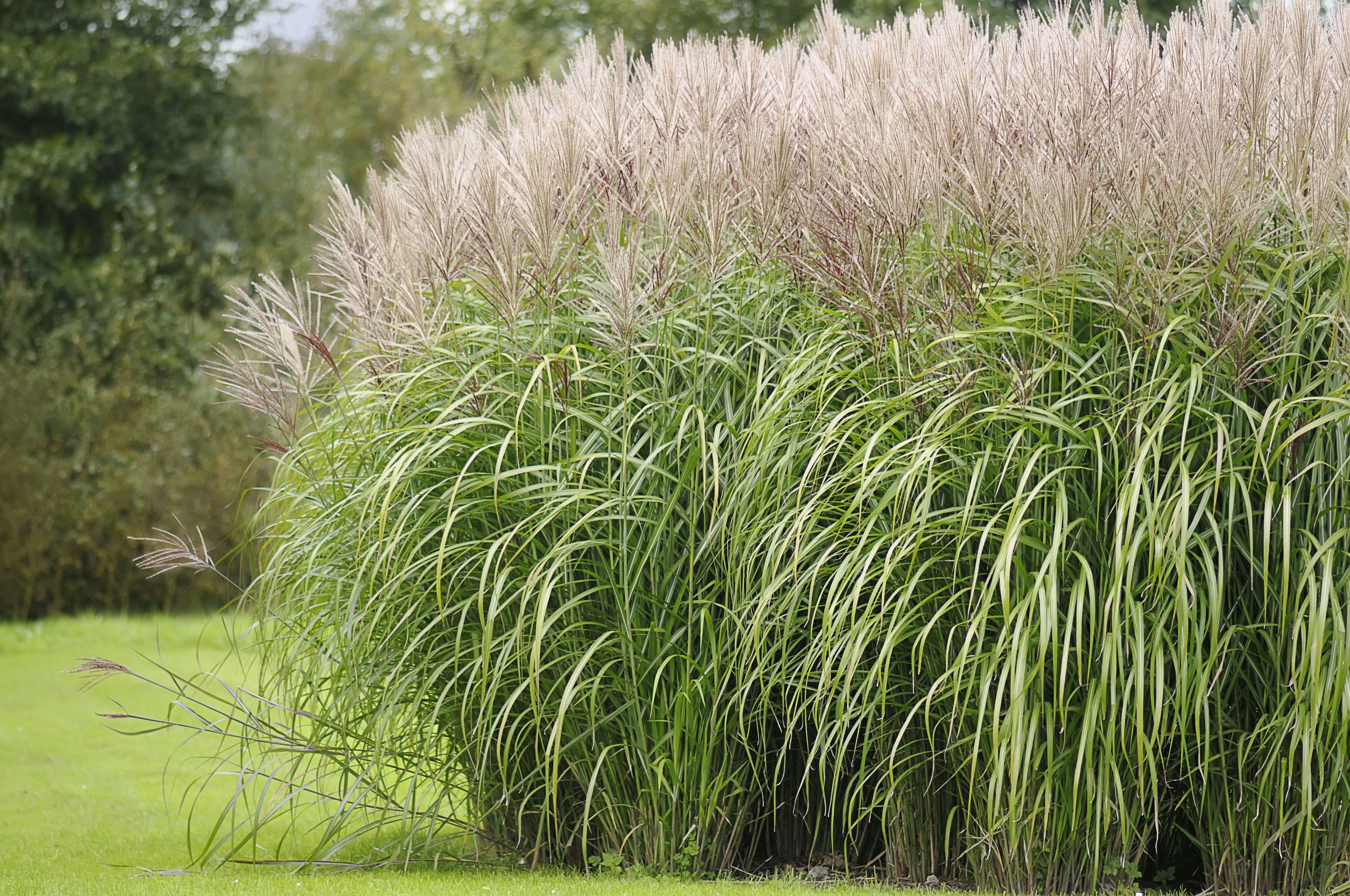 Japanese Silver Grass Colorado Google Search Ornamental Grasses For Shade Ornamental Grasses Grasses Landscaping
