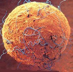 óvulo Y Espermatozoides Mandalas Biología Celular Microbiología Y Celulas Madre