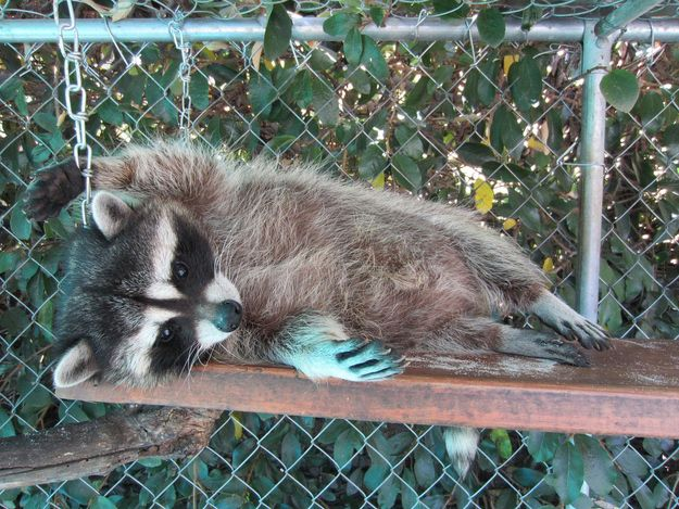 This story starts off incredibly sad: this raccoon was found in the under-cabin of a boat at an impounded marina, in a filthy cage full of rotten food where he had been living since he was a baby. Harbor was left 80% blind due to his poor nutrition and lack of sunlight, and he was turned over to rehabilitator, MaryEllen Schoeman, who named him Harbor. In his new home, Harbor didn't just recover well enough to survive, he found a boundless exuberance and a love of life that should inspire us…