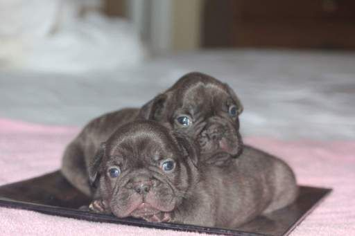 French Bulldog Puppy For Sale In Seattle Wa Adn 39617 On