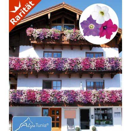 Isotoma 'Blue Foot', 3 Pflanzen - BALDUR-Garten GmbH