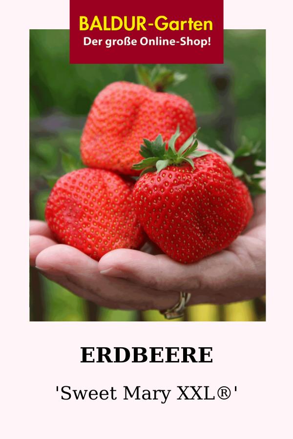 Erdbeere Sweet Mary Xxl 1a Qualitat Kaufen Baldur Garten Erdbeeren Erdbeerpflanzen Erntezeit