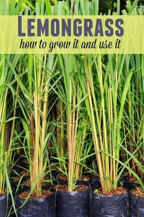 Lemongrass - How to Grow it and Use it #herbsgarden