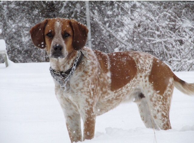 Red Tick Coonhound Mix Red Tick Coonhound English Coonhound