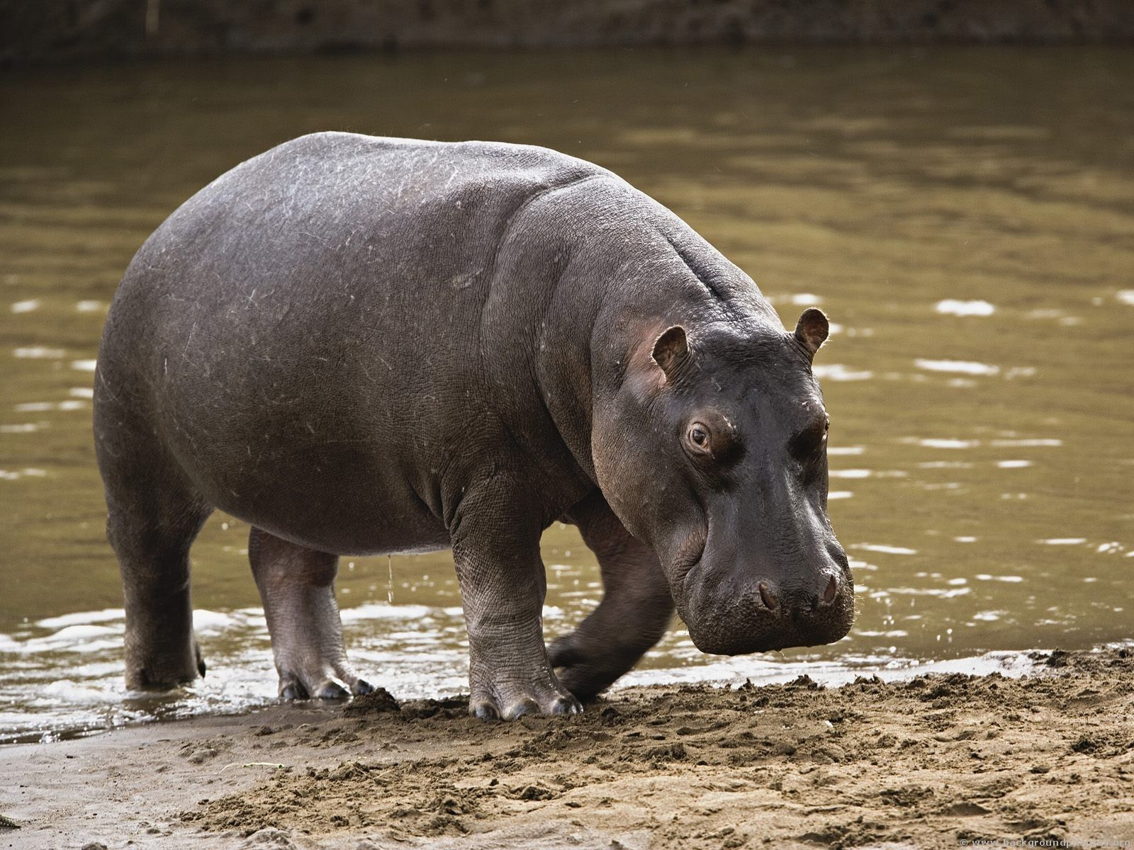 hippopotamus Google Search Hippopotamus, Big animals