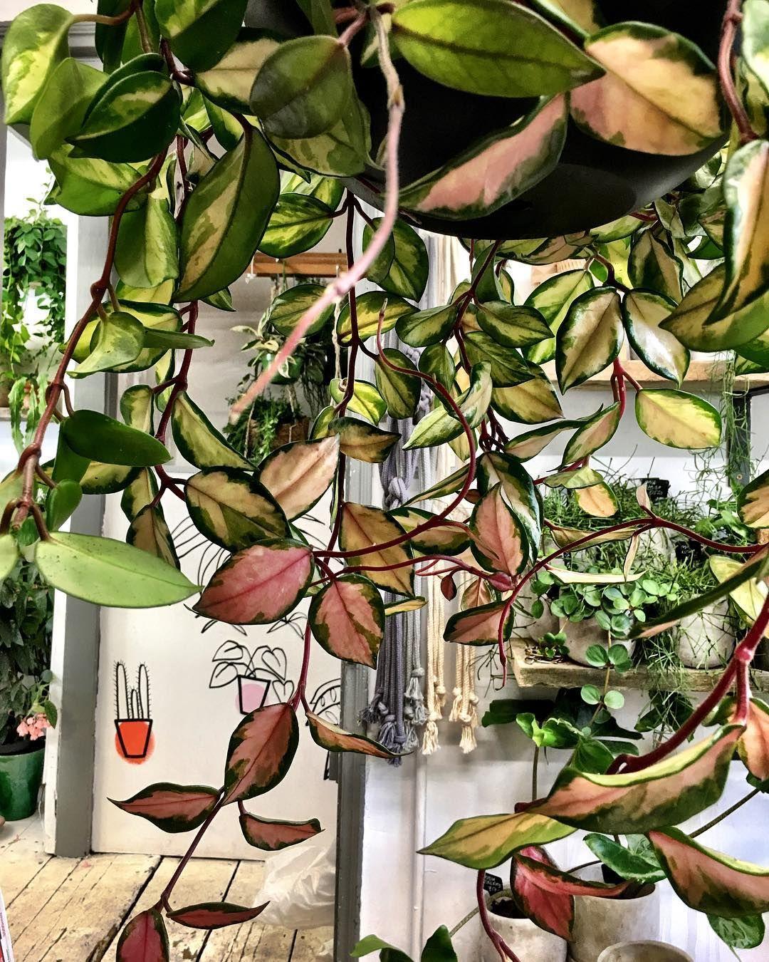 Hoya carnosa tricolor Embroidery Pinterest Cera Flor y Plantas