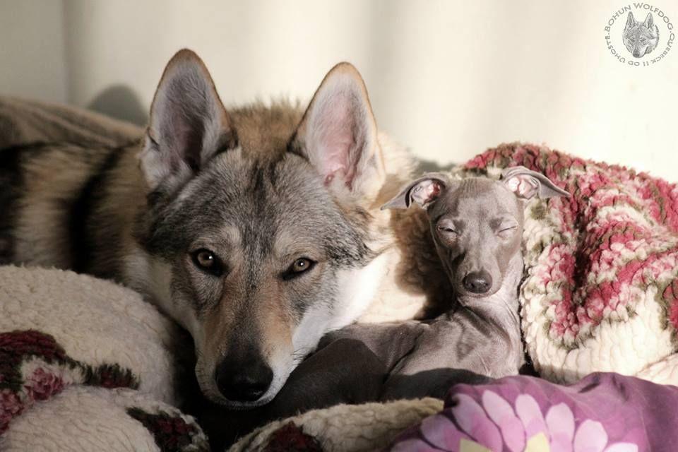 "Czechoslovakian Wolfdog & Italian Greyhound   ""Bohun"" Quebeck II od Úhoště & Pucia"" Lady Margot Tesori di Carli"