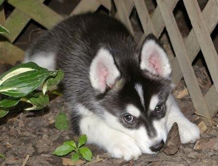 30451191 1 Jpg 451 343 Pixels Husky Puppy Animals Siberian Cats For Sale