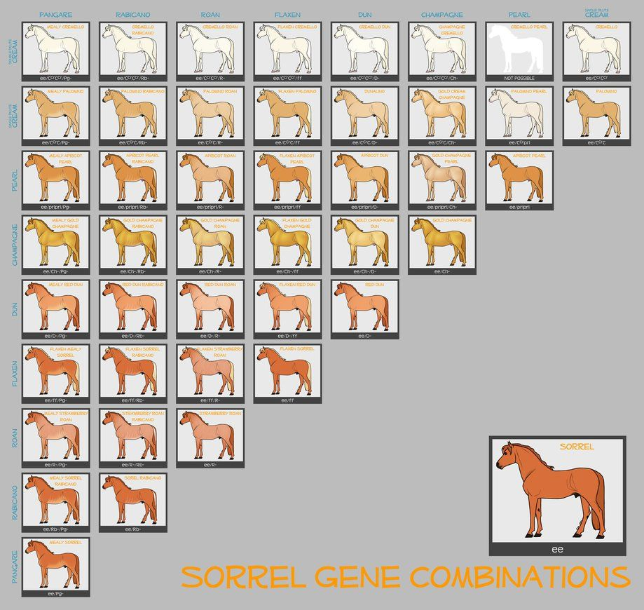 Sorrel horse genes by lxxmellodyxxl on deviantart horses color deviantart more collections like chestnut color genetics chart by magicwindsstables nvjuhfo Choice Image