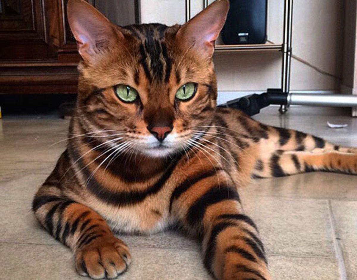 Thor The Bengal Cat Has The Most Beautiful Fur You Ve Ever Seen Bengal Cat Names Bengal Kitten Bengal