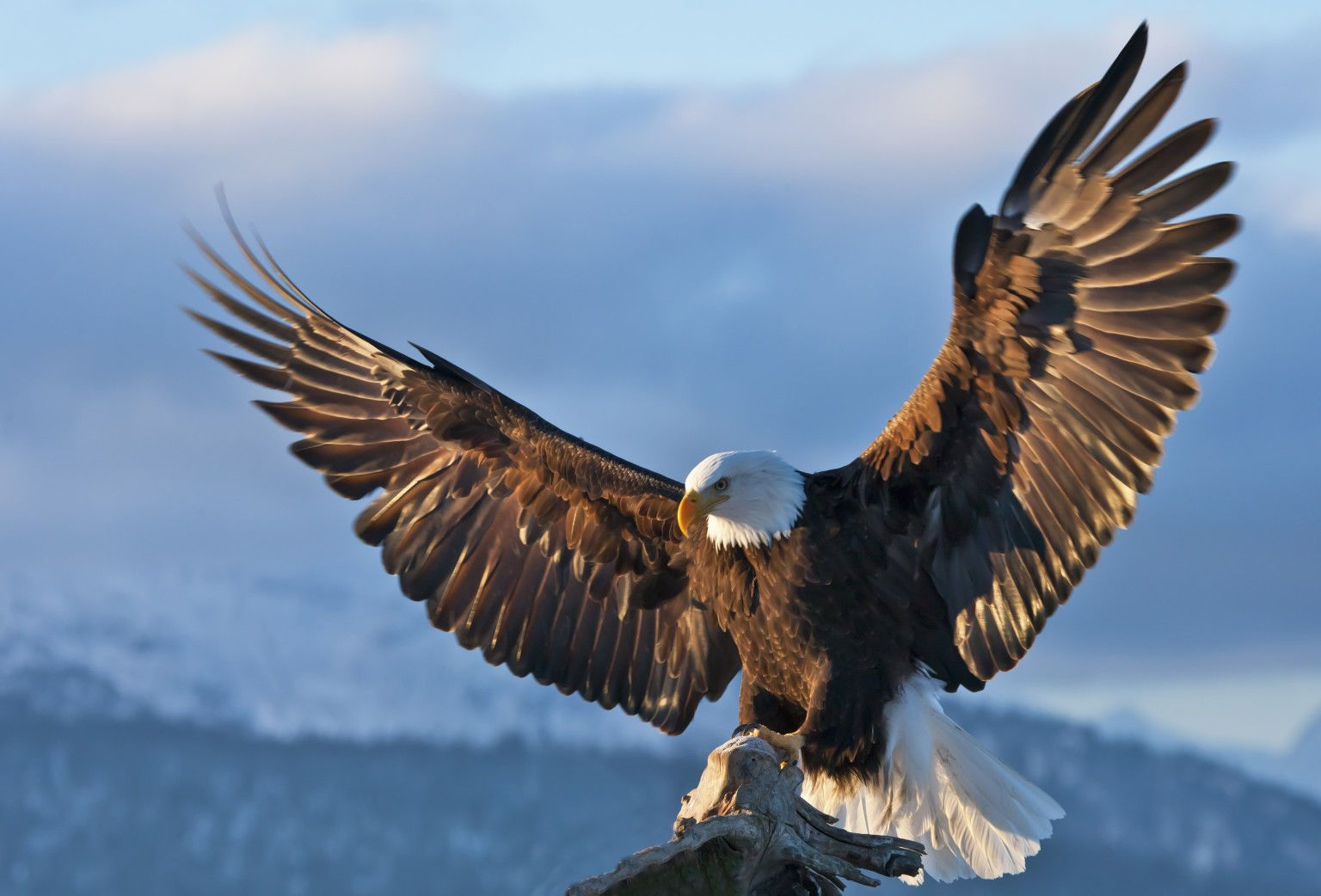Framed Print - American Eagle Coming In To Land (Picture Poster Wild Bird  Art) | Eagle wallpaper, Bald eagle, Wild birds