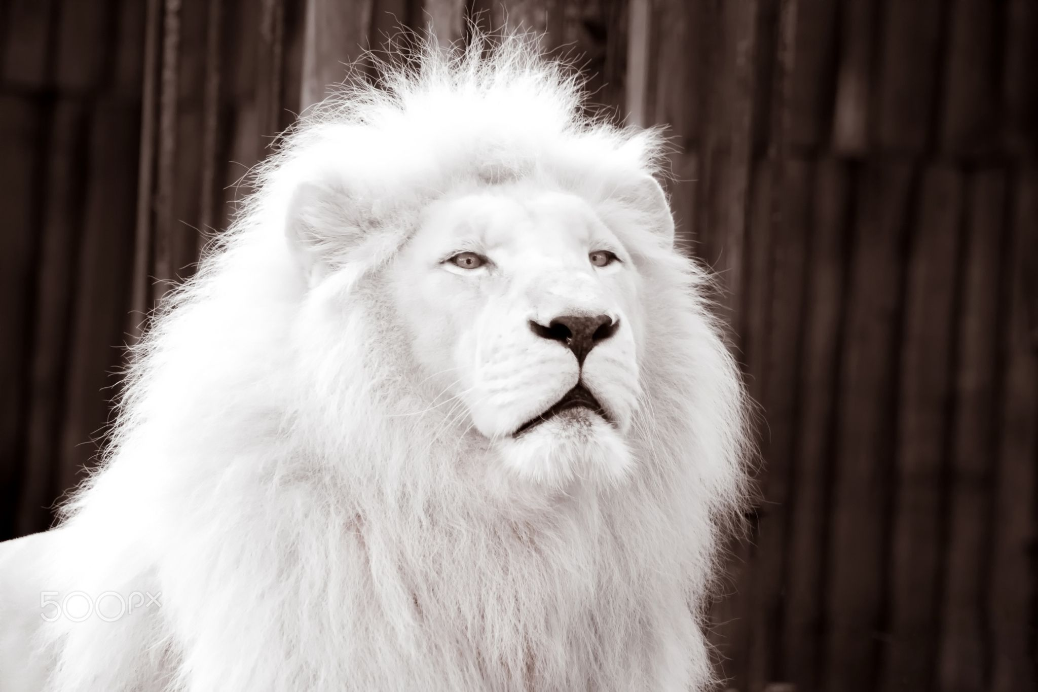 albino lion albino lion bratislava slovakia per aspera ad astra pinterest. Black Bedroom Furniture Sets. Home Design Ideas