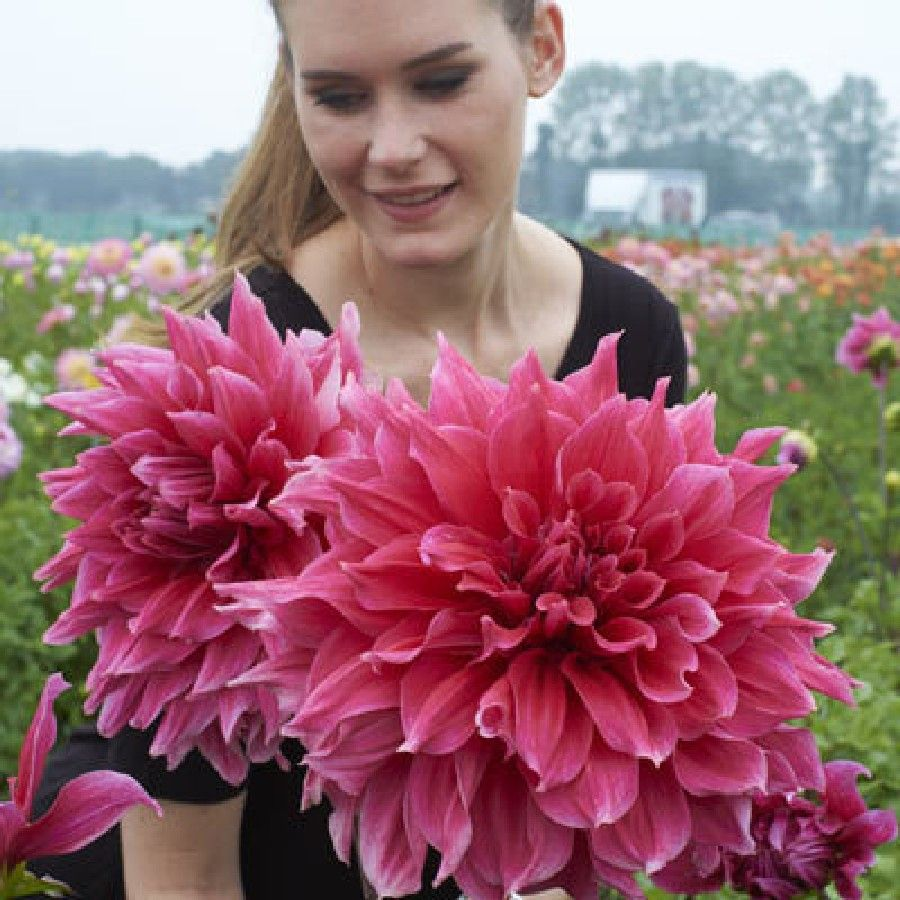 Superior Eden Brothers Offers The Highest Quality Dahlia Bulbs For The Lowest Prices  Anywhere. All Dahlia Bulbs Are Currently Available For Online Sale At  Savings Up ...