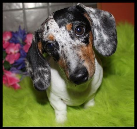 Breeding Quality Ckc Reg Miniature Dachshunds For Health And Great