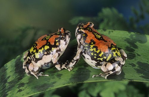 Red Rain Frogs, Scaphiophryne gottlebei,...   Amazing frog ...