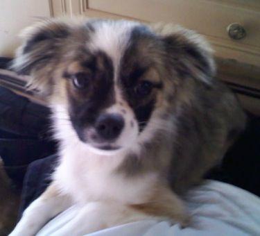 Lexington Ky Border Collie Shih Tzu Mix Meet Wendy A Puppy For Adoption Puppy Adoption Cute Little Animals Cute Dogs