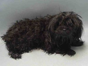Brooklyn Center  FINN – A1068032  FEMALE, BLACK, POODLE TOY MIX, 2 yrs STRAY – STRAY WAIT, NO HOLD Reason STRAY Intake condition EXAM REQ Intake Date 03/19/2016, From NY 11225, DueOut Date 03/22/2016, I came in with Group/Litter #K16-050976 Urgent Pets on Death Row, Inc