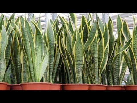 The Presence of THIS PLANT in your Home Attracts Money as ...