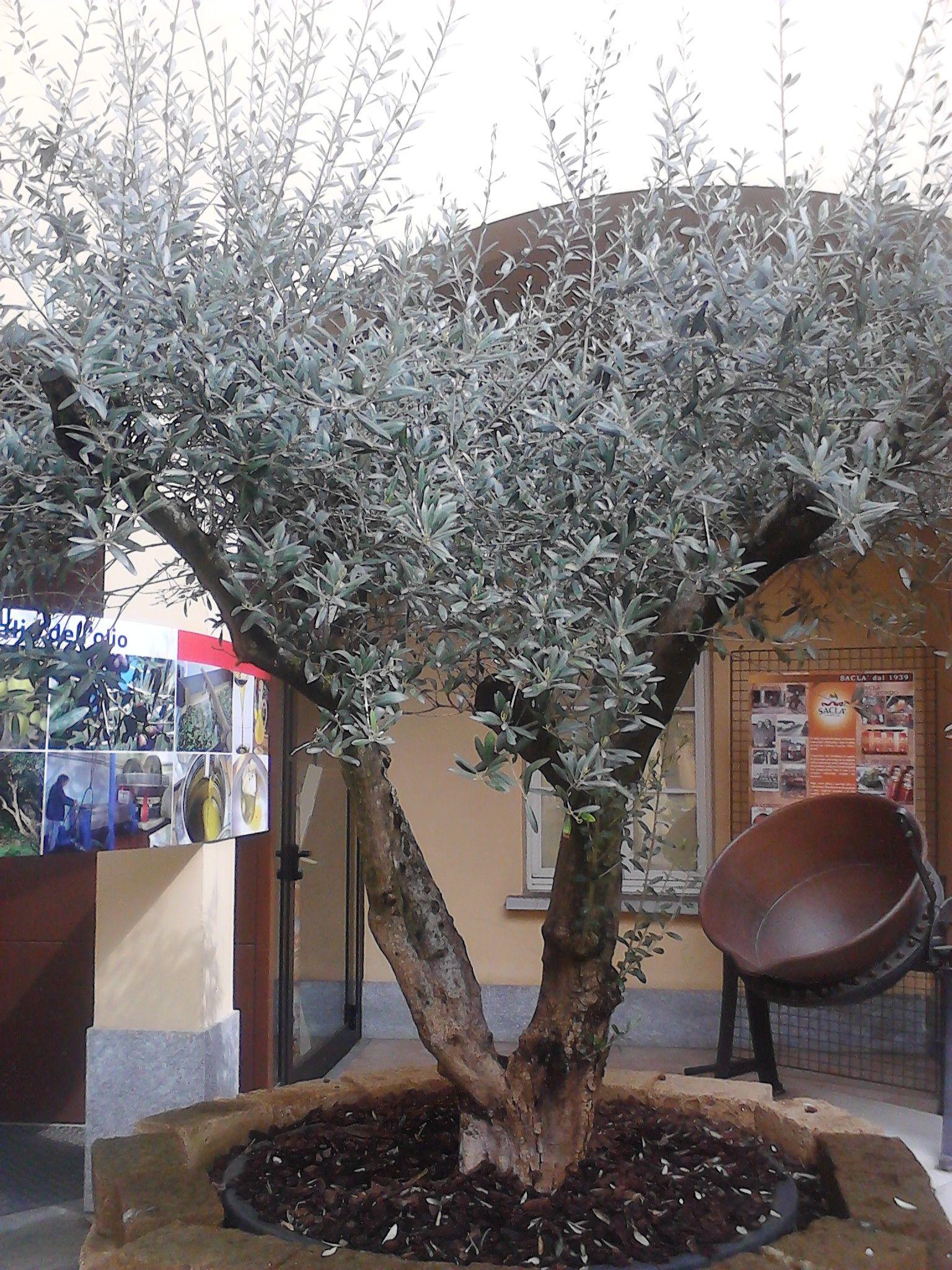 L'ulivo è più che mai simbolo della cultura e dell'alimentazione mediterranea. Può stupire pensare che l'ulivo era coltivato anche in Piemonte e in particolare proprio nelle zone limitrofe a Frossasco, dove è tornato ad essere presente. #invasionidigitali #museodelgusto