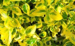 Euonymus fortunei – Kriechspindel