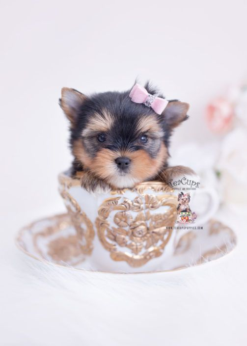 yorkie-puppy-for-sale-teacup-puppies-boutique-308-a #cuteteacuppuppies