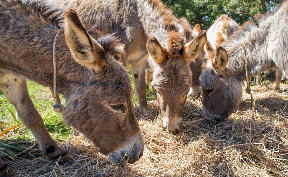 Asino Sardo, nato e cresciuto in Sardegna #asinosardo #donkey #sardinia  #thelivingfarm | Sardegna, Animali, Asino