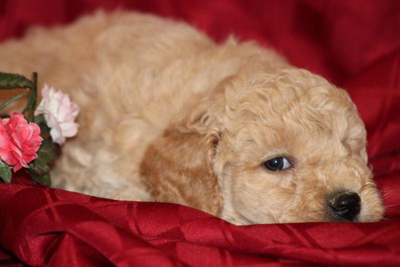 Mini Goldendoodle Puppies Wisconsin Ideas