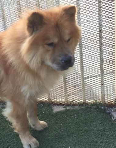 Adopt Blaze On Chow Chow Dogs Chow Chow Dogs
