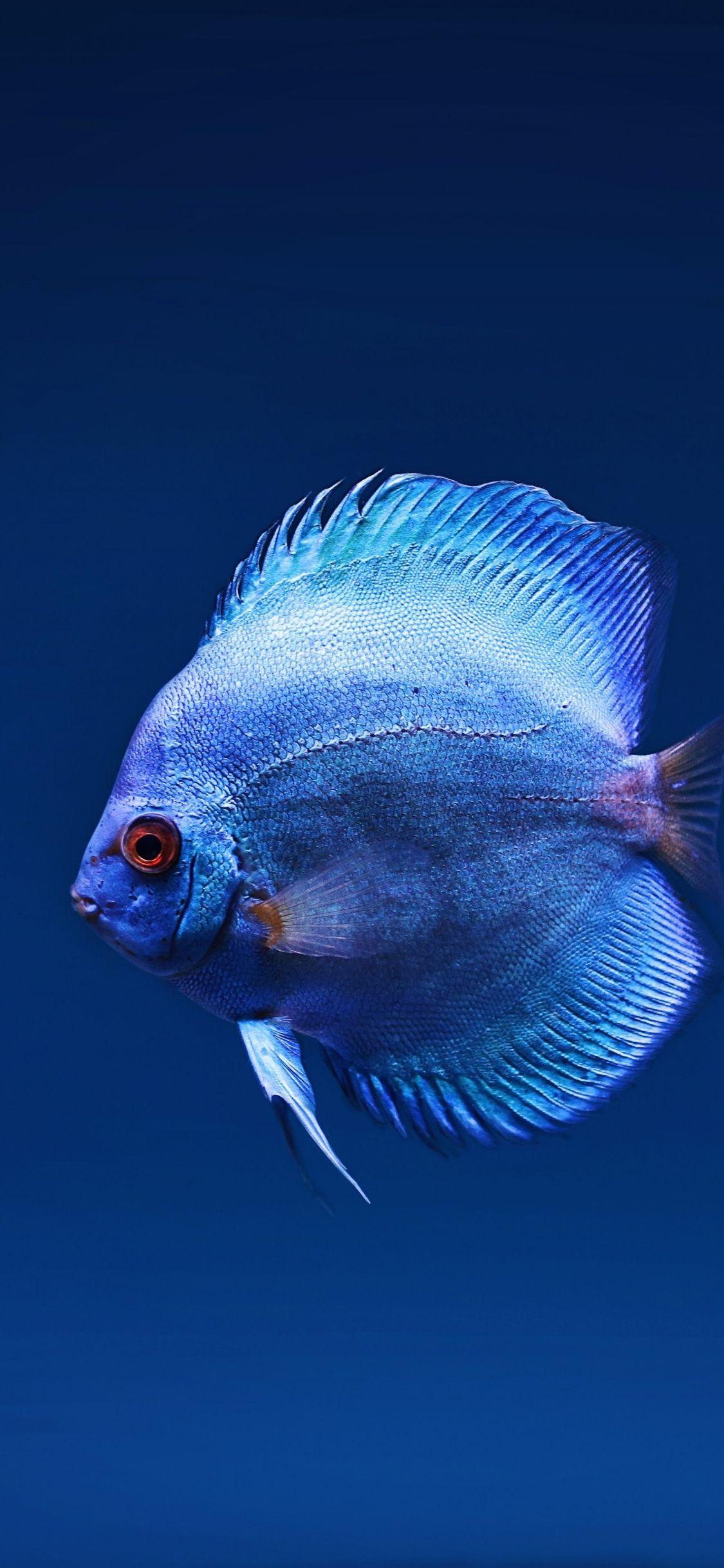 1125x2436 Blue Fish Close Up Wallpaper Fish Wallpaper Hd Cool