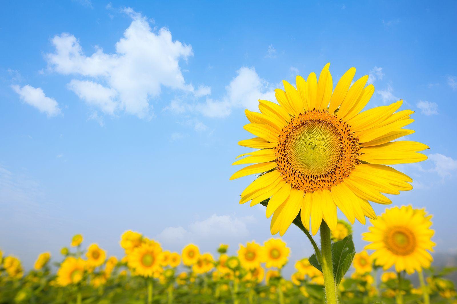 The 30 Prettiest Sunflower Fields Across the U.S