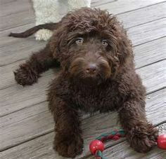 Pin By Phoebe Olivera On Fuzzyland Chocolate Goldendoodle Goldendoodle Puppy Snuggles