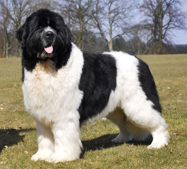 Landseer Black White Variety Of Newfoundland Newfoundlanddog Big Dog Breeds Landseer Dog Large Dog Breeds