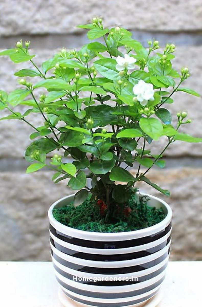 How To Grow And Care For Jasmine Plant Gardening Ideas Pinterest