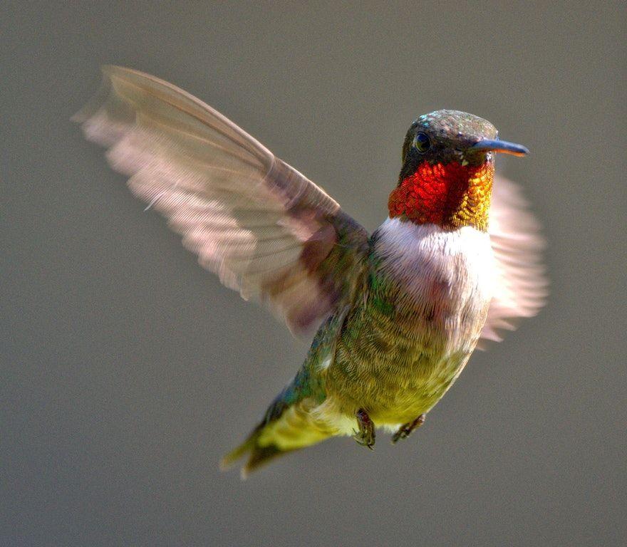 RubyThroated Hummingbird [OC] MostBeautiful Ruby