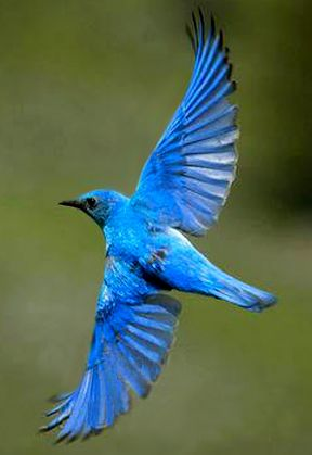 Flying+Blue+Bird | Male Moutain Bluebird flying. | BLUE ...