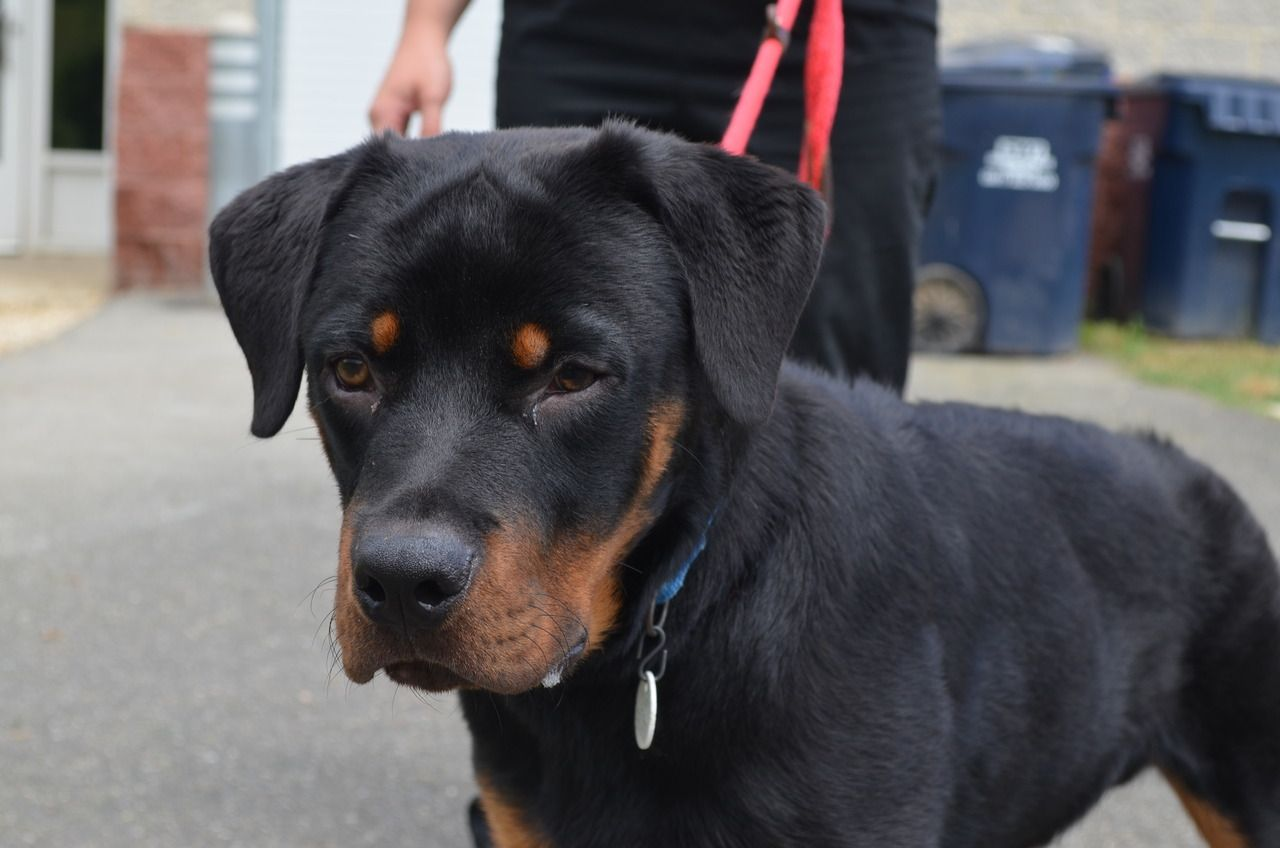 Operation Paws For Homes Sway Rottweiler Dogs Dogs