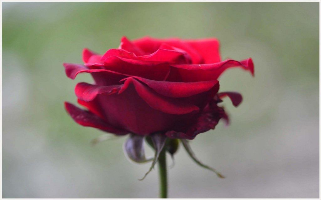 Single Rose Flower Wallpaper | single rose flower wallpaper, single rose flowers hd wallpapers