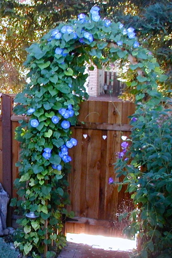 Morning Glory 1 From Uploaded By User No Url Morning Glory Flowers Garden Vines Garden Arches
