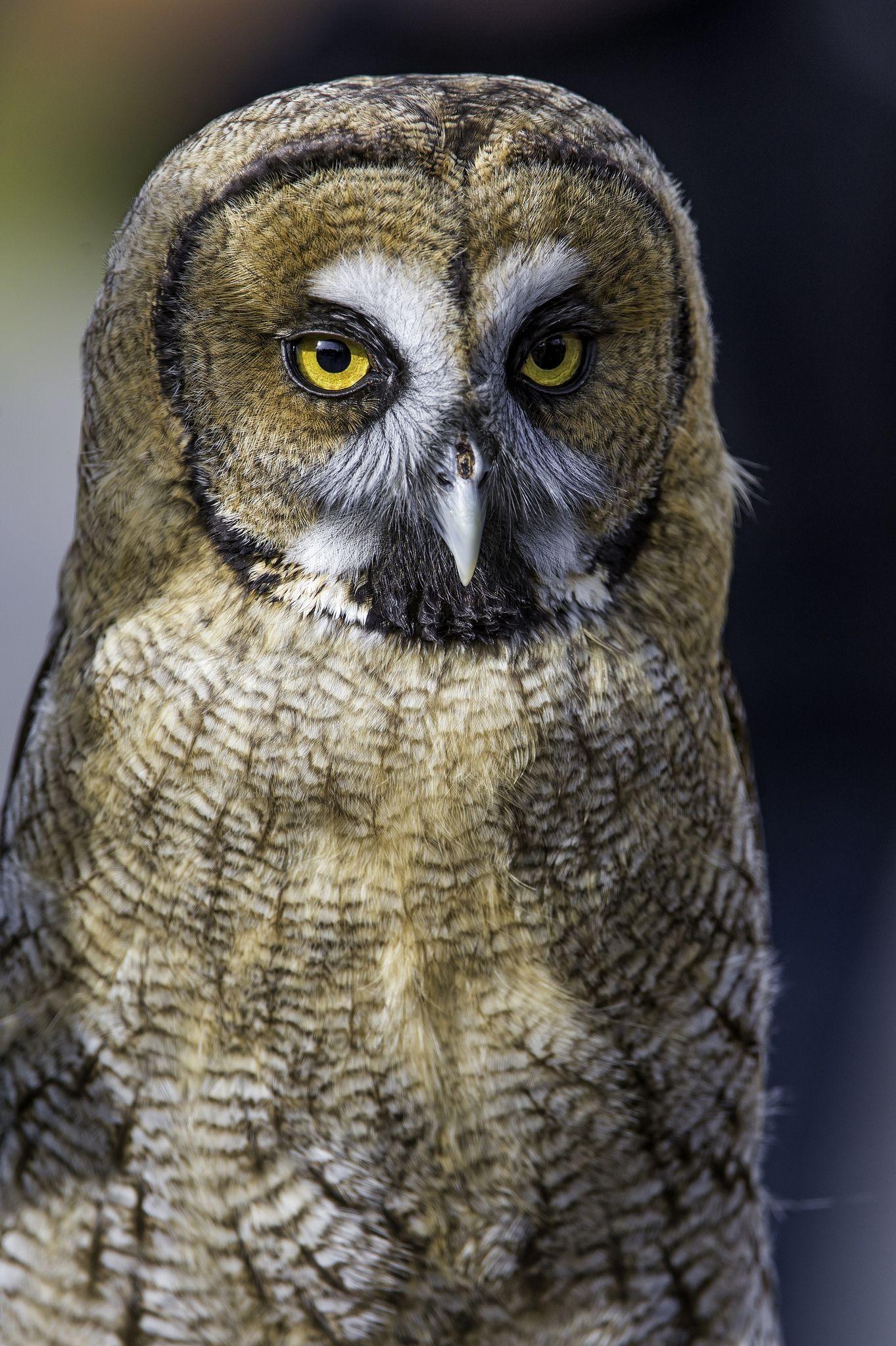 Httpsflickrpg8Fpzs - Hybrid Owl - This Is A Hybrid Between