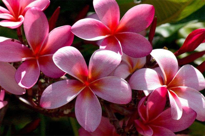 Hawaiian flower plumeria plumeria plumeria rubra tattoo flower hawaiian flower plumeria plumeria plumeria rubra mightylinksfo Choice Image