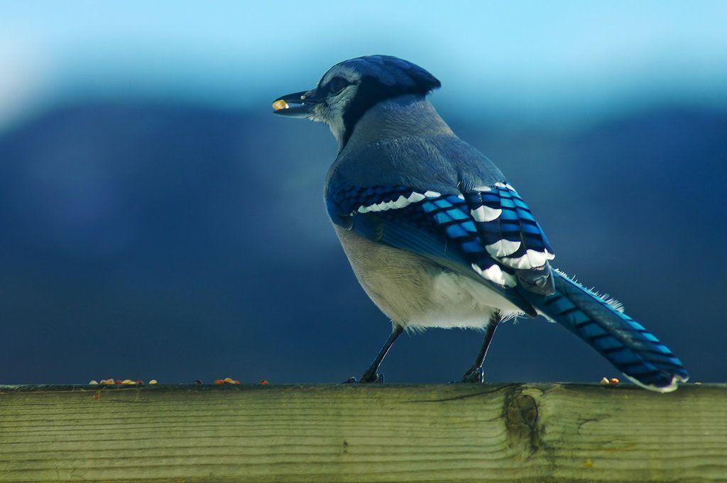 Blue jay munchin' by LucieG-Stock.deviantart.com on @deviantART
